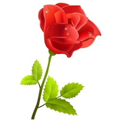 red rose isolated vector image vector image