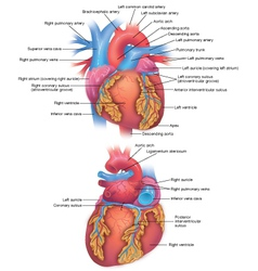 Heart diagram vector