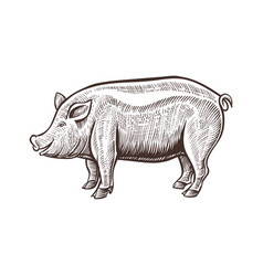 Farm pig animal sketch isolated pork on the white vector