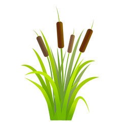 Water reed plant cattails green leaf vector