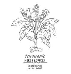 turmeric vector image