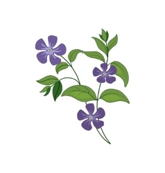 Periwinkle wild flower hand drawn detailed vector