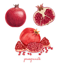 hand drawn pomegranate vector image vector image
