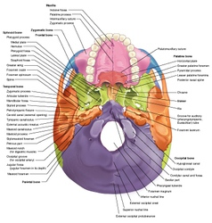 Cranial base diagram superior view vector image vector image