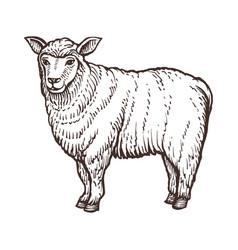 sheep farm animal sketch isolated sheep mammal on vector image