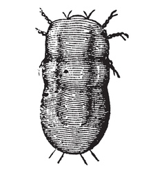 Locust mite vintage engraving vector image