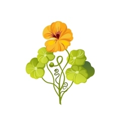 Nasturtium Wild Flower Hand Drawn Detailed vector image