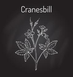 Wild cranesbill geranium maculatum medicinal vector