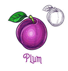 Plum sketch isolated fruit icon vector
