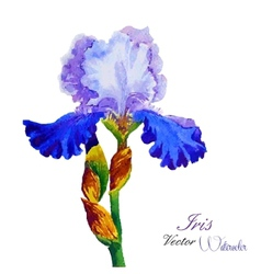Iris watercolor vector
