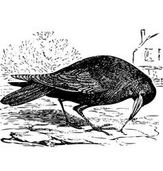 Rook bird engraving vector
