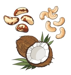 Collection of cashew coconut and brazil nuts vector