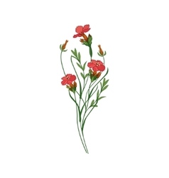 Sweet William Wild Flower Hand Drawn Detailed vector image vector image
