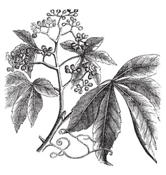 Virginia Creeper engraving vector image