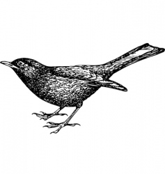 Eurasian blackbird vector