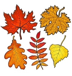 Set of autumn leaves - maple aspen oak and rowan vector