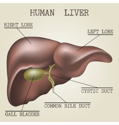 The human liver anatomy vector