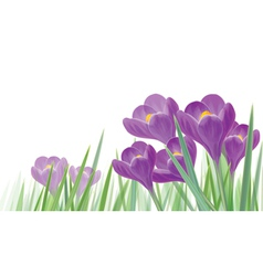 Crocus isolated vector