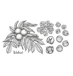 ink sketch of nuts vector image vector image