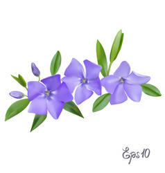 branch of periwinkle flowers vector image