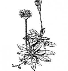 hawkweed hieracium vector image vector image