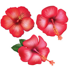 Set of red hibiscus flowers vector