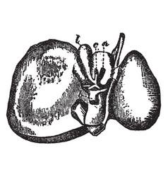 Liver vintage vector
