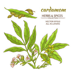 cardamom set vector image