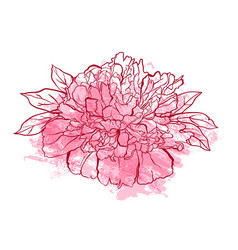hand drawn peony flower vector image vector image