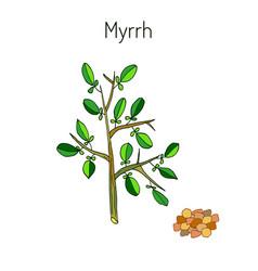 Myrrh aromatic plant vector