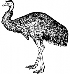 emu dromiceiidae vector image vector image