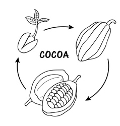 The life cycle of cocoa vector