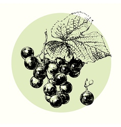 Vine of grapes vector