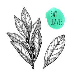 Ink sketch of bay leaves vector