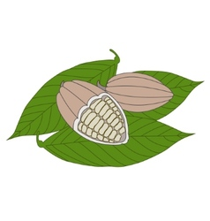 Cocoa beans on a white background vector