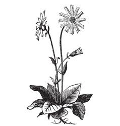 Arnica montana flower vector image