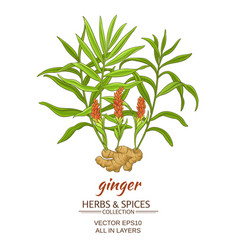 ginger vector image