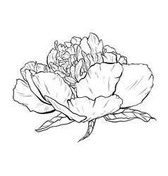 hand drawn peony lower vector image vector image