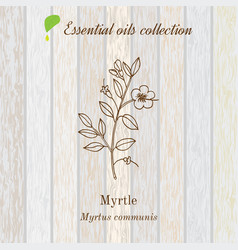 Myrtle essential oil aromatic plant vector