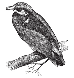 Carolina duck engraving vector image