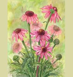 watercolor echinacea bouquet vector image vector image