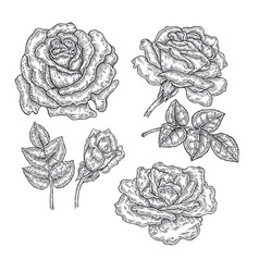 Hand drawn rose flowers and leaves isolated on vector