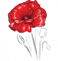 red poppy flower vector image vector image