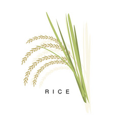 Rice ear infographic with realistic vector