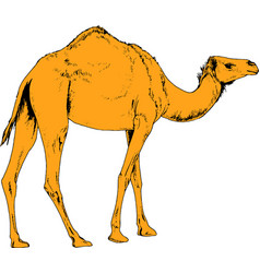camel drawn in ink by hand in full growth vector image vector image