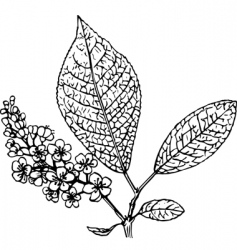 padus bird cherry vector image