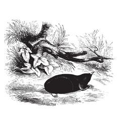 Common shrew mole vintage vector