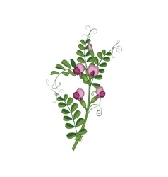 Sweet pea wild flower hand drawn detailed vector