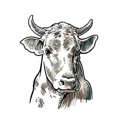 Cows head hand drawn in a graphic style vintage vector