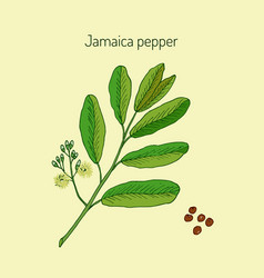 allspice or jamaica pepper vector image vector image